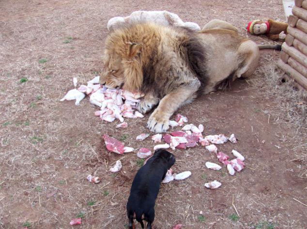 """【环球网综合报道】据英国《每日邮报》8月14日报道,美国俄克拉荷马州的G.W.珍奇动物公园有一对最不可能的朋友,一头轻微残疾的成年雄狮和一只8岁的达克斯猎狗从小就成为了伙伴,它们在过去的5年里几乎形影不离。   据悉,雄狮名叫""""刨骨爪""""(Bonedigger),体重500磅(约合227公斤),体长7英尺(约合2米),这使它的朋友小狗麦洛(Milo)看起来小得就像它的幼崽。据它们的护理员约翰•赖因克(John Reinke)介绍,刨骨爪患有先天性的代谢性骨病,致使它轻微"""