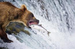 阿拉斯加棕熊辛苦捕鱼后坐享美食