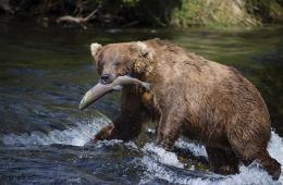 辛苦捕鱼一天 棕熊们坐享美食