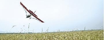 河南3000亩黄河滩遭遇蝗灾 玉米地被啃食殆尽