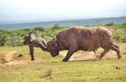 南非幼象自信挑战成年水牛被顶飞