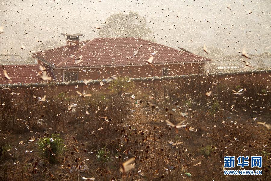马达加斯加首都塔那那利佛遭遇蝗灾:遮天蔽日