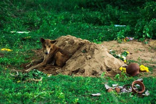 印忠犬为主人守墓15天未进食