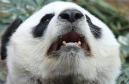 """泰国清迈熊猫""""烂牙"""" 中国网友质疑或遭虐待"""