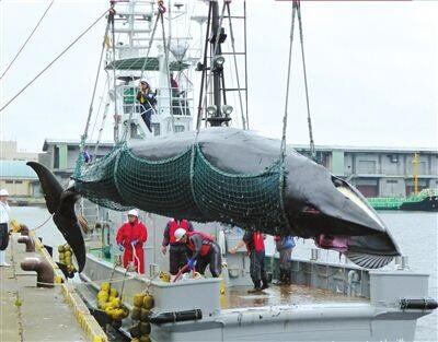 日欲就调查捕鲸再寻理解 日媒预测将遭欧美反对