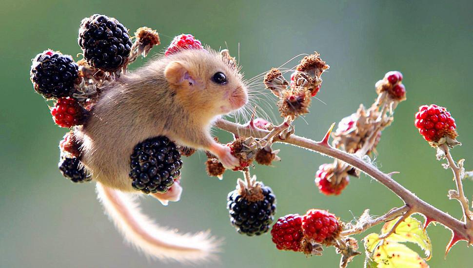 英国呆萌小睡鼠爱上浆果无法自拔