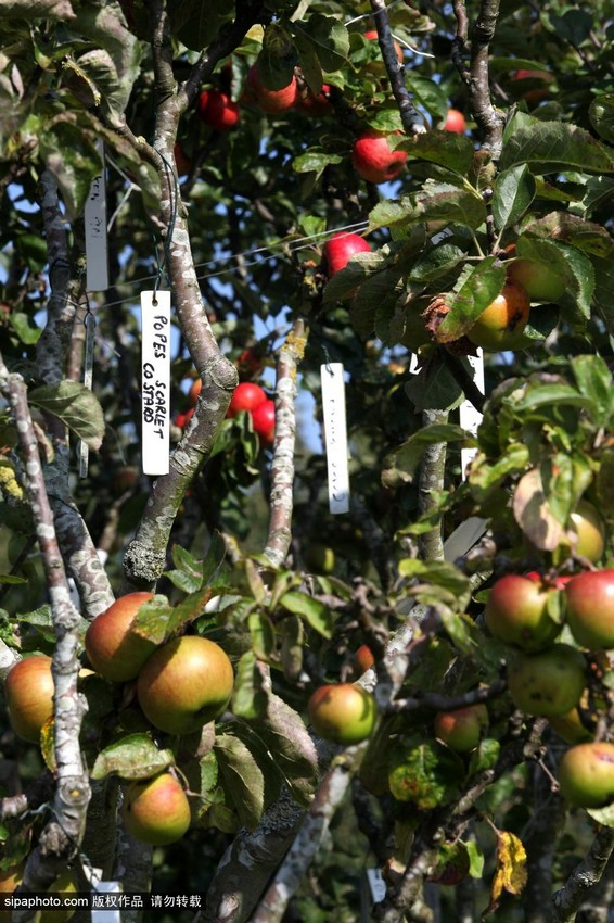 英男子培育神奇果树 一棵结出250种苹果