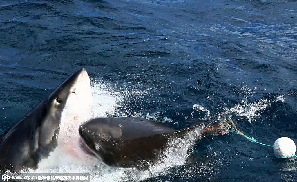 澳大利亚凶恶鲨鱼上演同类相残场景