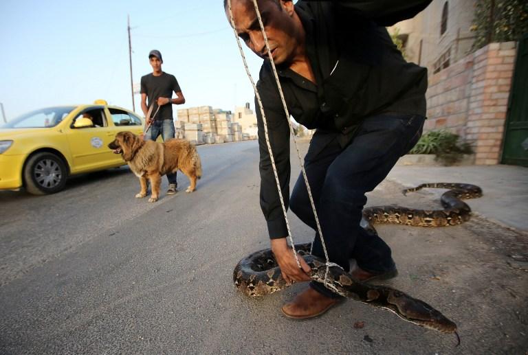 巴勒斯坦男子当街牵蟒蛇散步