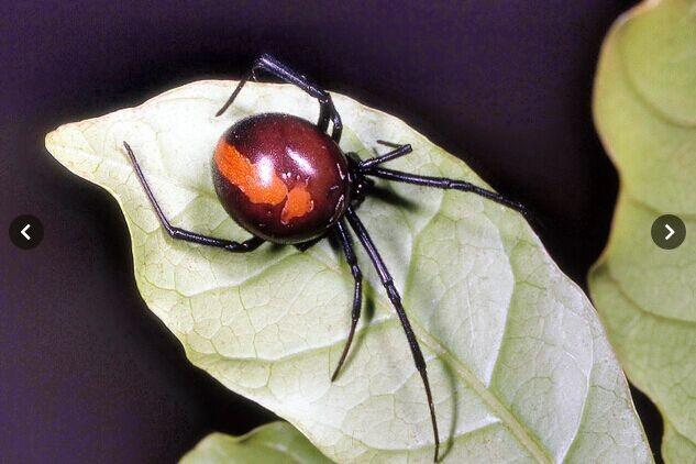 """赤背寡妇毒蜘蛛""""入侵""""日本东京 或已开始繁殖"""