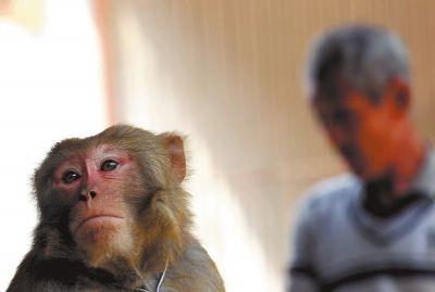 揭秘耍猴艺人生活:活得再卑贱也不想这行失传