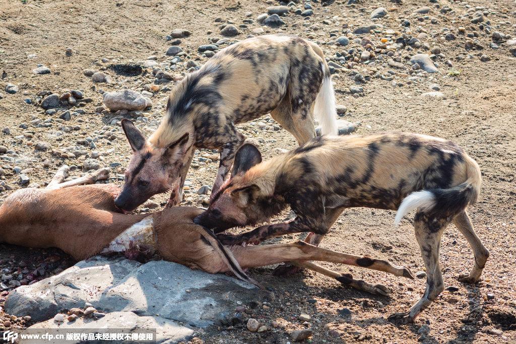 南非鳄鱼吃胆包天:从水中突然窜出抢走饿狗食物