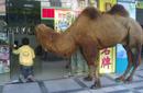骆驼不能沦为暴力乞讨的道具