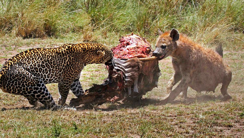 环球图片一周精选 饥饿猎豹捕食斑马遭狡猾鬣狗抢夺