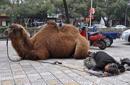 带残疾骆驼乞讨怎能置之不理?