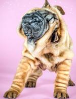 美摄影师用慢镜头捕捉小狗甩脑袋可爱瞬间