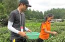 韩国学生体验采茶