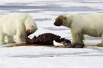 北极熊被拍分食海象场景