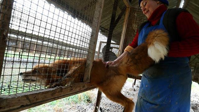直击俄罗斯毛皮动物农场:生命有高低?(图)
