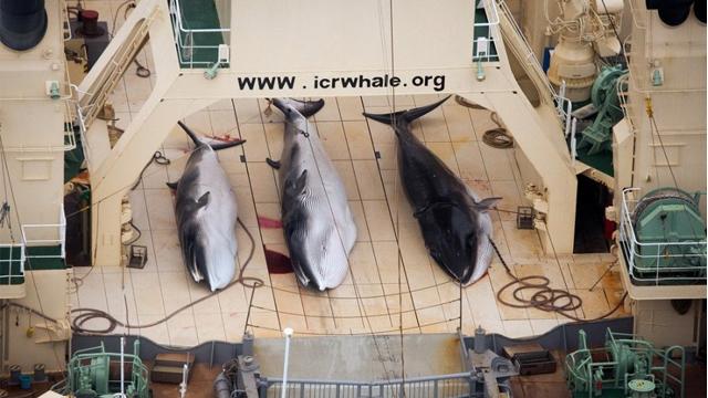 日本计划将南极科研捕鲸数量减至三分之一(图)