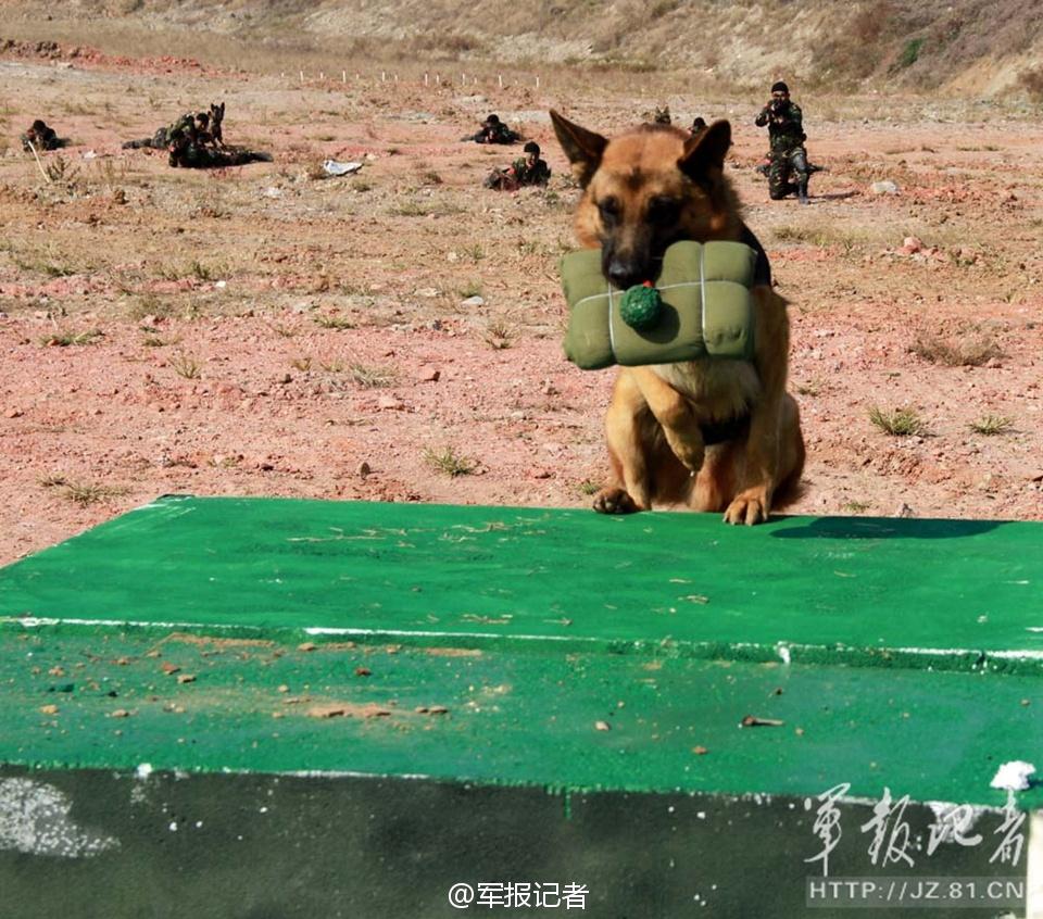 解放军特种部队训练军犬炸碉堡