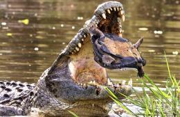 图片一周精选 甲鱼体型过大逃脱鳄鱼口
