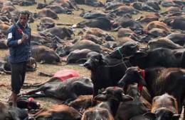 尼泊尔教徒过节屠杀上万动物 屠宰场内尸横遍野