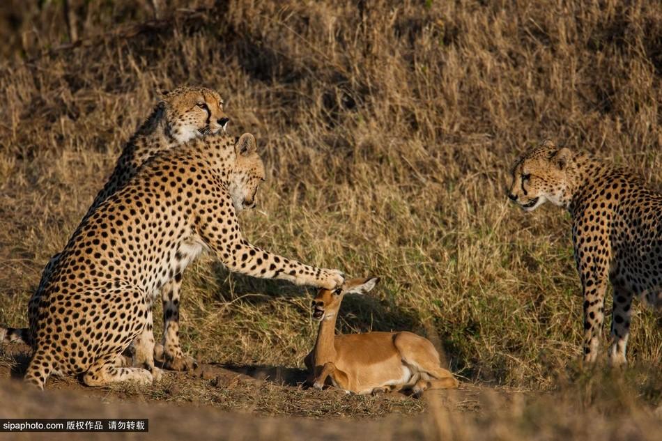 """当地时间2014年12月4日,肯尼亚马赛马拉,12月4日是肯尼亚国际猎豹日(World Cheetah Day),英国野生动物摄影师Paul Goldstein展示了一组猎豹的照片。Paul Goldstein非常着迷于猎豹,他说:""""我已经在马赛马拉追踪这些猎豹长达20年,我非常了解它们。""""(图片来源:Sipa Photo) 免责声明版权作品,未经环球网Huanqiu."""