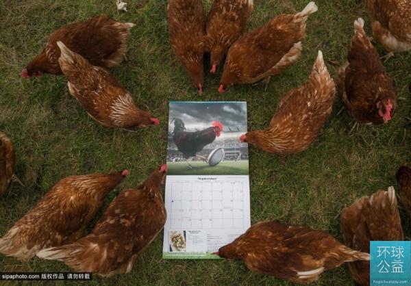 """英蛋商推出""""帅公鸡月历"""" 让母鸡开心产蛋"""