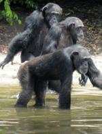 """现实版""""人猿星球"""":利比里亚岛的黑猩猩"""