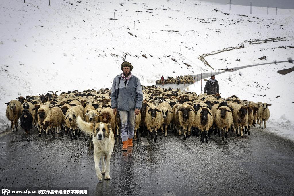 在雪中放牧的土耳其牧羊人