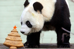 英动物园为熊猫制作圣诞树蛋糕