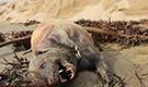 神秘无毛生物现加州海滩