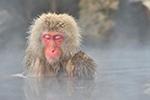 雪猴子泡温泉成人气景点