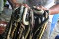 实拍印尼宰蛇工厂