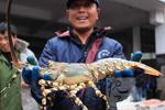 抓拍渔民捕捉大龙虾