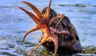饥饿海豹捕杀章鱼