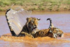 图片一周精选 南非调皮小老虎水中嬉戏