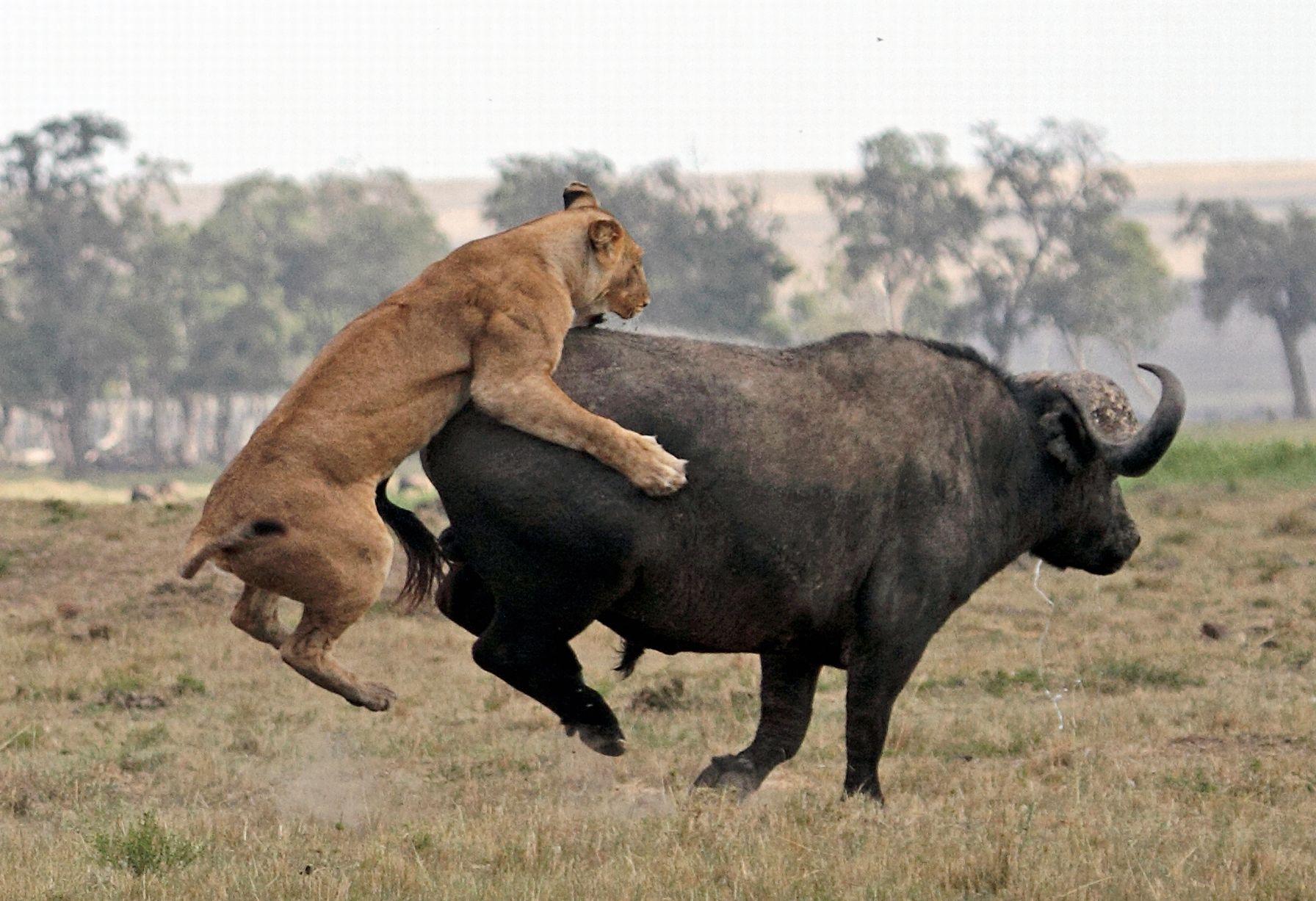 【环球网综合报道】据英国《镜报》1月6日报道,近日,肯尼亚马赛马拉保护区发生逆转一幕:一只水牛遭成群狮围捕,不过它凭借精准一踢,成功逃脱。   据悉,非洲水牛喜欢栖息在高长蓬乱的草堆里,对人攻击性很强。但和狮子较量,一般情况下,它们注定会成为狮子的盘中餐。   不过,这次显然是个意外。看来,草原百兽之王猎食时也不可轻敌啊。(实习编译:庞飘飘 审稿:朱盈库) 免责声明版权作品,未经环球网Huanqiu.