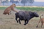 非洲水牛踢狮子成功突围