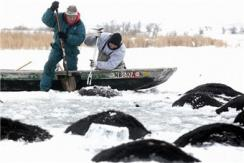 美国百头奶牛误闯结冰水库 冰河溺亡