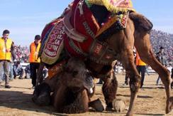 """土耳其古城上演""""骆驼摔跤赛"""""""