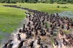 动物大迁徙的奇观 惊呆了!