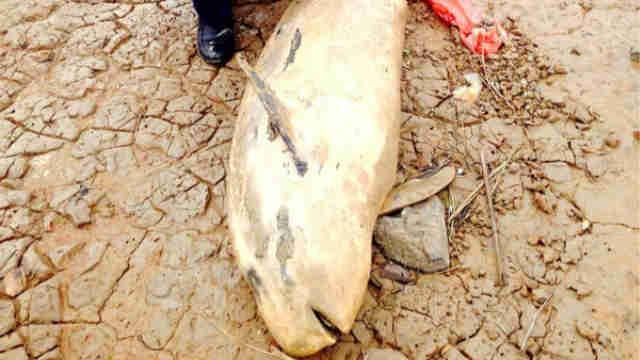 鄱阳湖2015年再现死江豚 为自然死亡