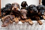 """英国""""英雄""""杜宾犬妈妈一窝产下14只狗崽"""