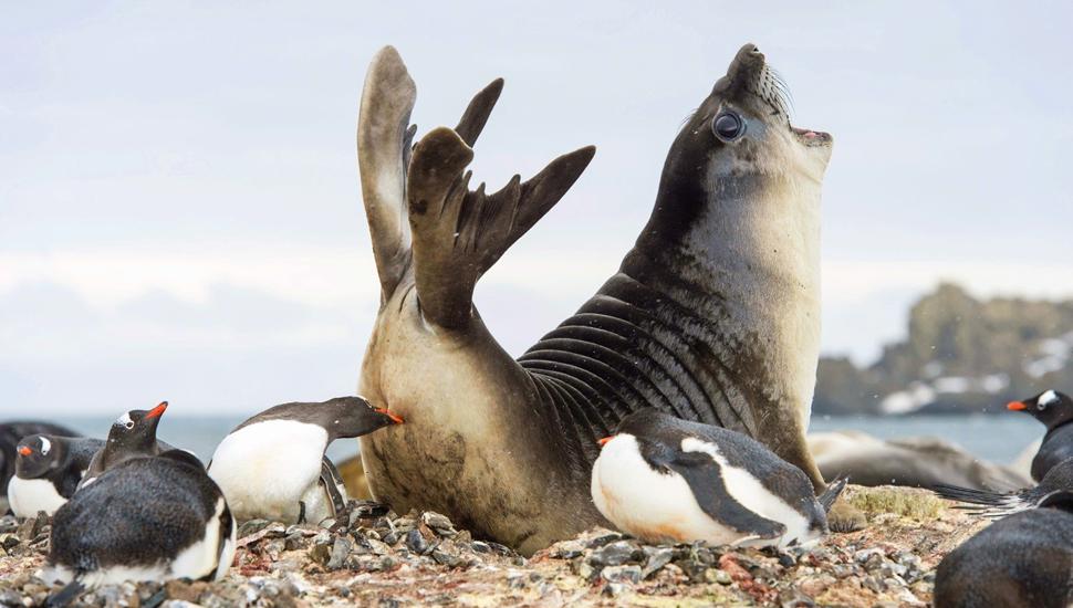 南极企鹅为抢地盘偷袭象海豹猛啄屁股
