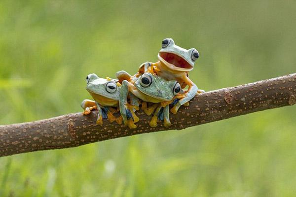 """摄影师抓拍三只树蛙""""叠罗汉""""萌图"""