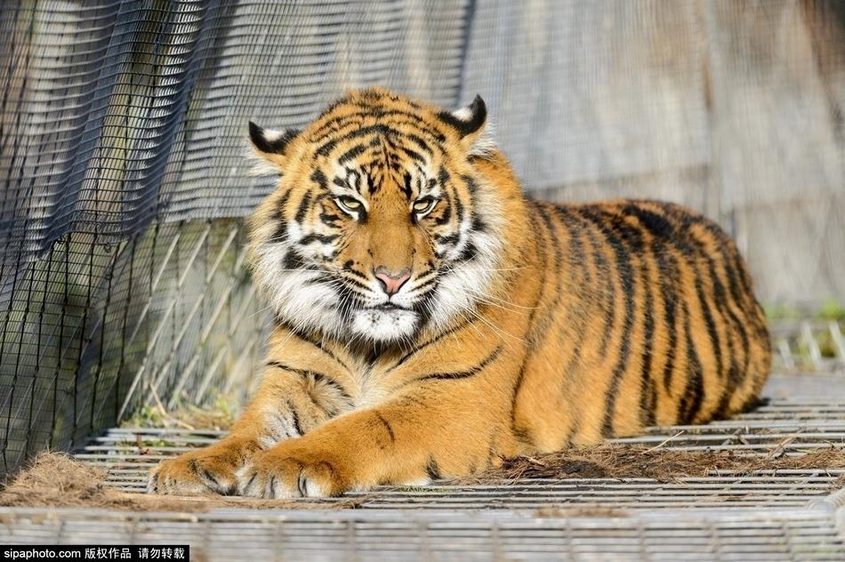 伦敦老虎三胞胎迎周岁生日 动物园送大礼