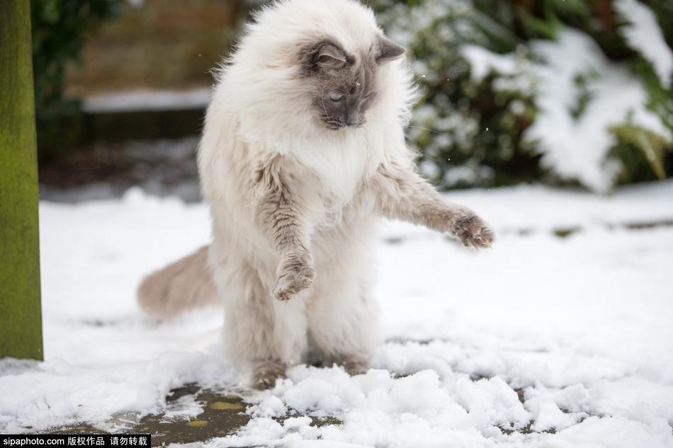 当地时间2015年2月3日,英国剑桥,一只看到雪的喵星人,走路也变得好奇怪,似乎是觉得雪凉到了小爪子,不断撑起前肢站立走路,十分有趣。(图片来源:Sipa Photo) 免责声明版权作品,未经环球网Huanqiu.com书面授权,严禁转载,违者将被追究法律责任。