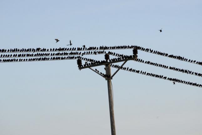 以色列和英国上空惊现绚丽椋鸟群